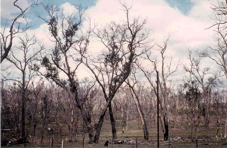 Dieback - healthy trees die by fungal attack at the roots